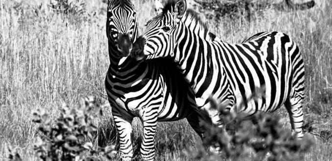 Zebra's in Welgevonden Game Reserve