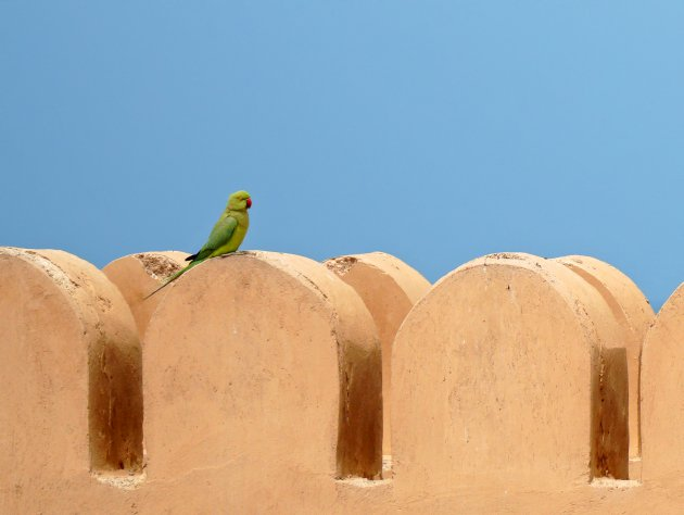 Papegaaien in Oman