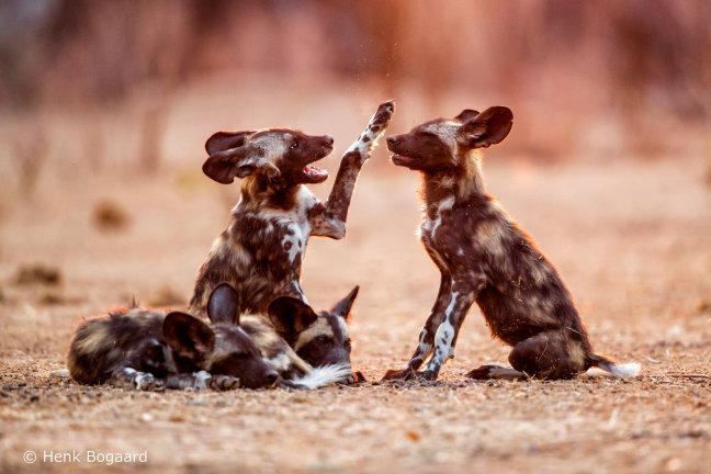 Wilde honden puppies bij zonsopkomst