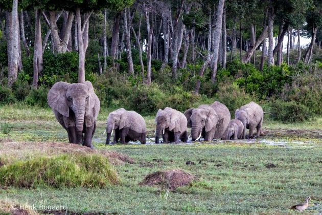 Olifanten kudde steekt een moeraspoel over in de Masai Mara