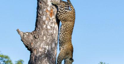 Luipaard loodrecht uit de boom