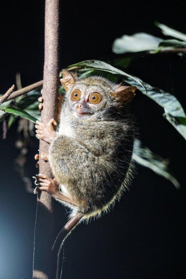 het kleinste aapje met de grootste ogen