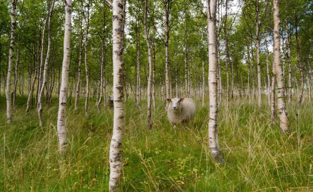 Wildlife tussen de Noorse berken