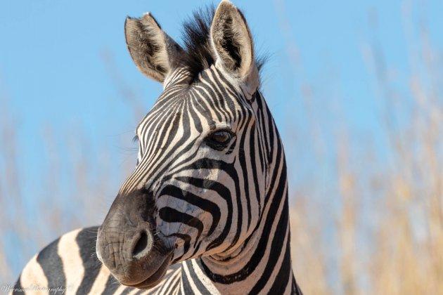 Zebra bij het Ithala Game Reserve