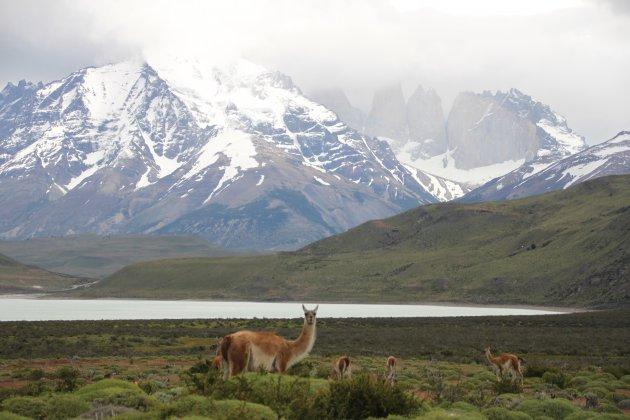 Guanaco's in het ruige landschap van Patagonië