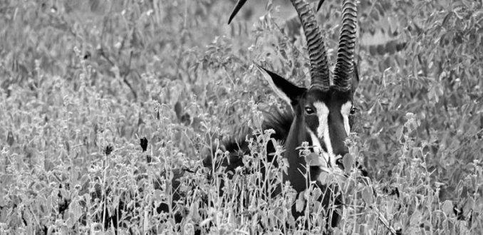 Sabelantilope in het lange gras