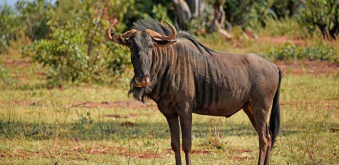 Wildebeest in prive reserve.