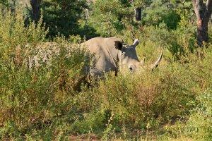 Neushoorn verscholen in het lange gras