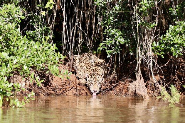 Oog in oog met de jaguar