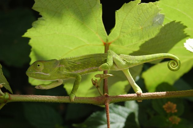 Kameleon (Chamaeleo dilepis petersi)