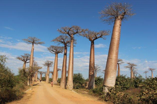 Avenue des Boababs