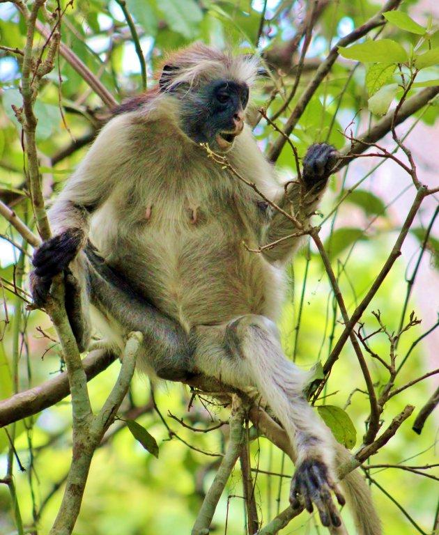 Zeldzame aap
