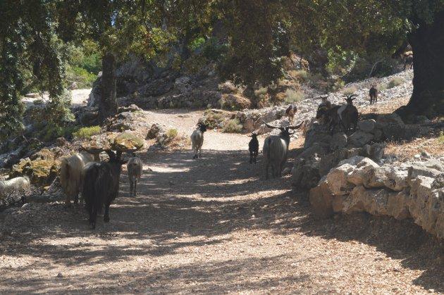 Berggeiten bij Gorropu kloof, Ghenna Silana