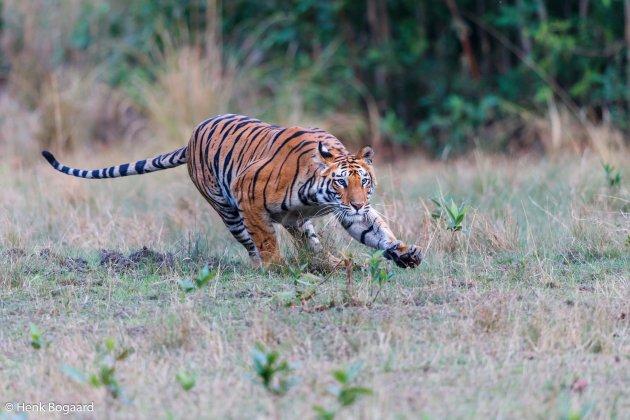 tijger in actie in Bandhavgarh NP - India