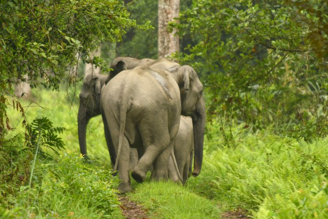Aziatische Olifanten in Orang N.P.