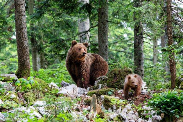 Bruine beer met jong in Slovenië