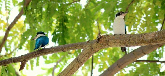 IJsvogel in de tropen