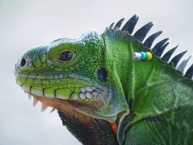 inheemse iguana