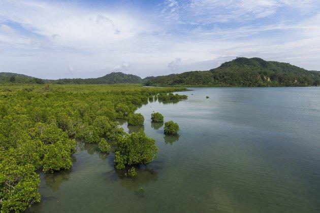 Mangrove langsheen de Urauchi rivier