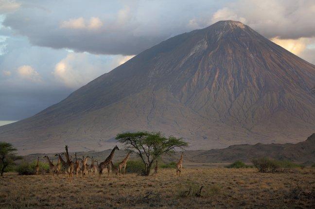 Giraffes in het laatste licht