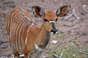 De bosbok in Zuid Afrika
