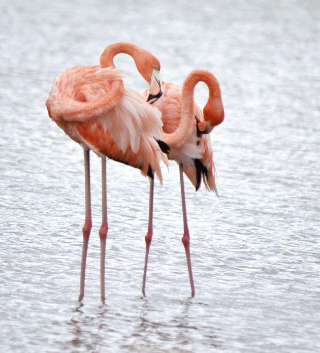De Caribische flamingo
