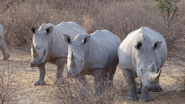The white Rhino's