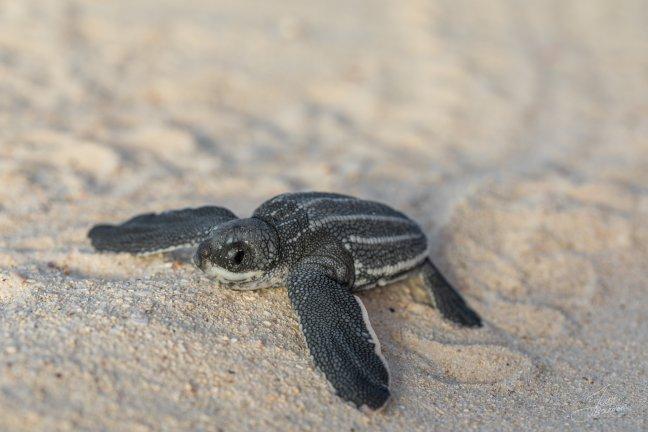 Baby Schildpadje
