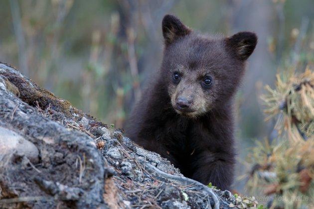 Jonge zwarte beer.