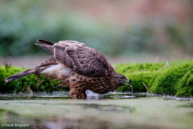 Jonge havik drinkt uit een vijver in het bos