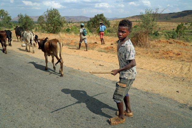 Brand en het verdwijnen van zebu's