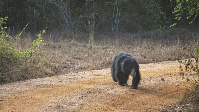 The Sri Lankan sloth bear