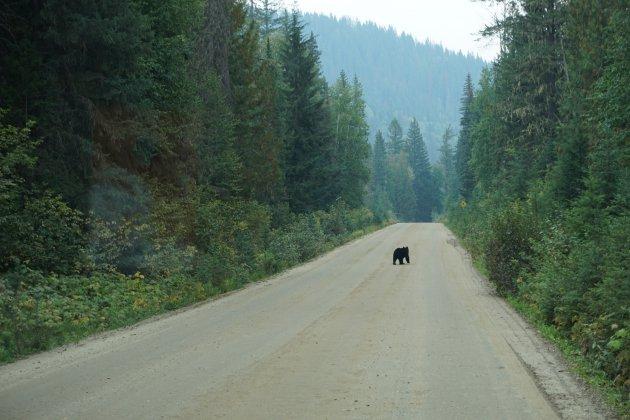 Beren en zalmen spotten in Wells Grey Provincial Park