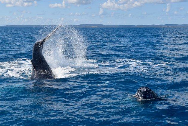 'Walvissen-show' voor de kust van Fraser Island