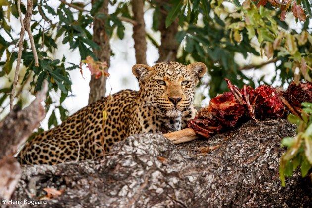 Dinner Time - Luipaard met impala prooi in de boom