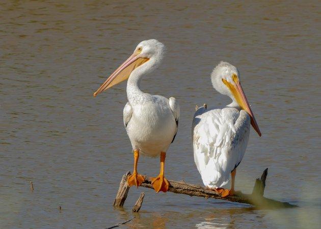 Amerikaanse Witte Pelikanen
