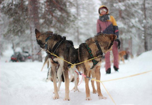 Hondensledetocht Zweden