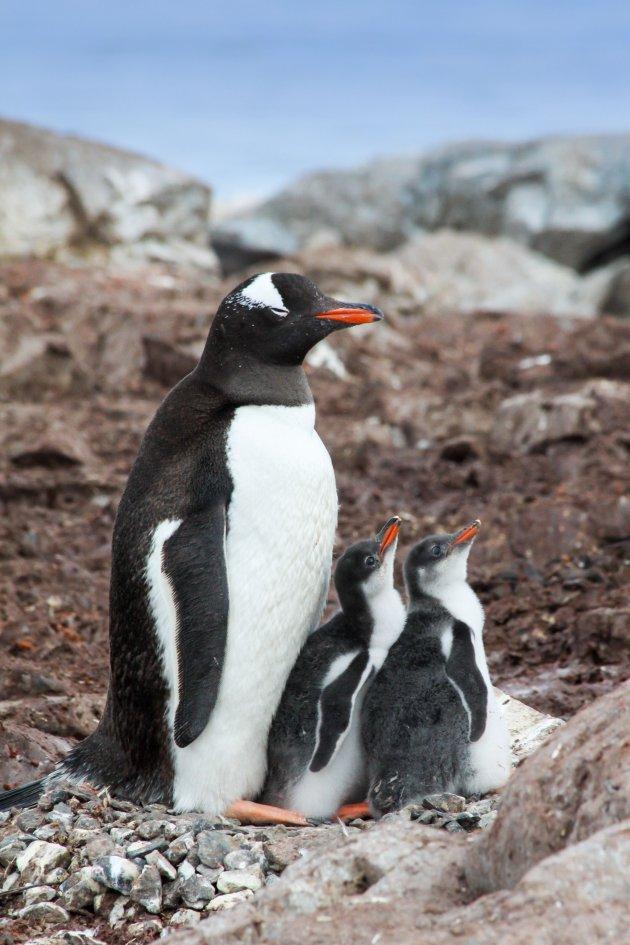 Een rustig familieleven op Antarctica
