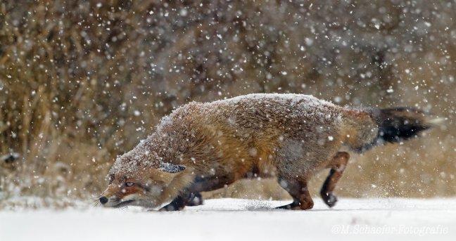 Winter Vos