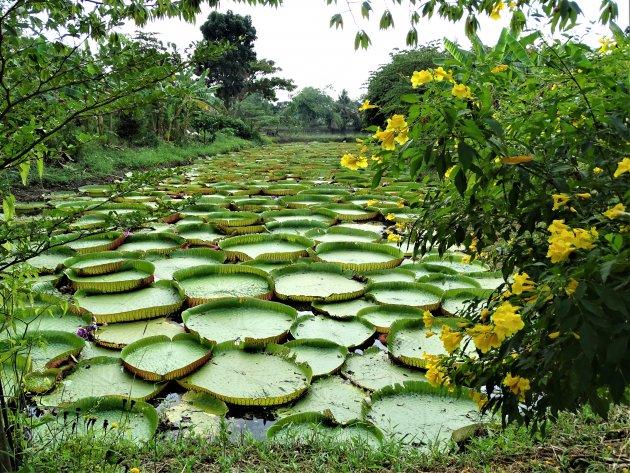 Amarat Lotus Garden.