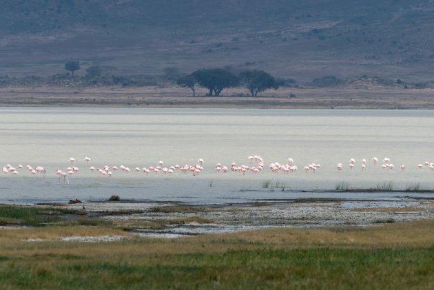 Flamingo's op een rijtje