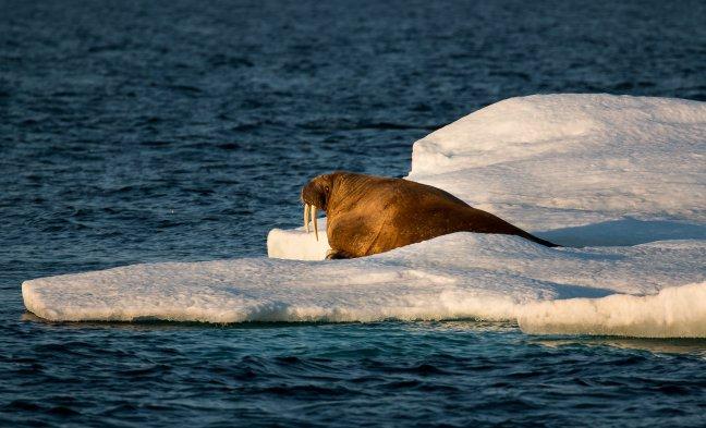 Walrussen spotten op Spitsbergen