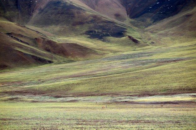 Tibetaanse antilopes