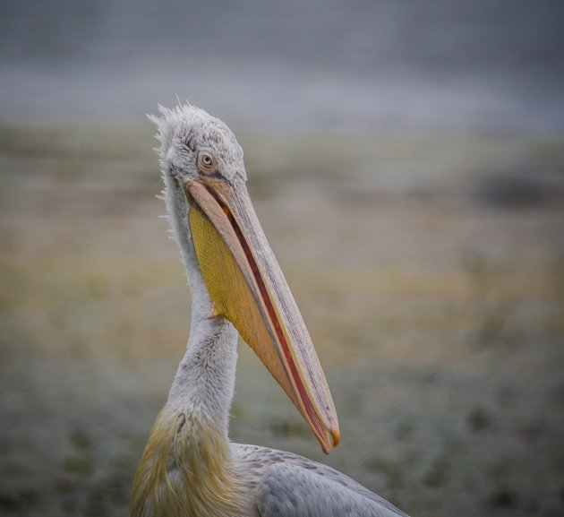 De roze pelikaan