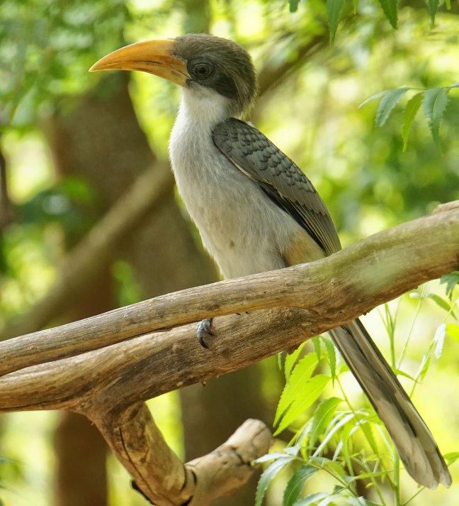 grey hornbill sri lanka
