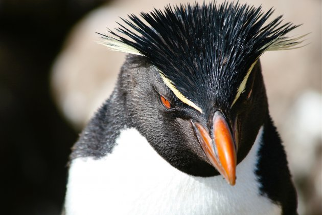De rotsspringers van de Falkland eilanden
