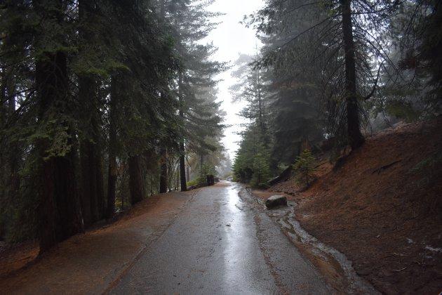 sequoia in de mist