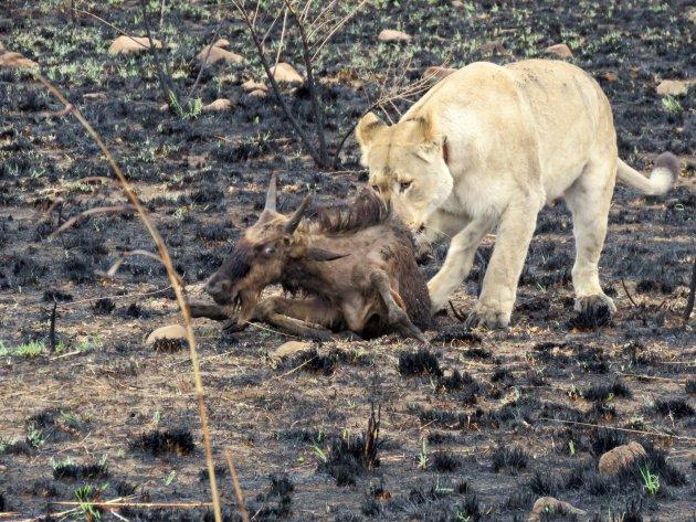 Puur natuur in het Nambiti Private Game Reserve