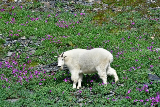 Mountain goat, Harding Icefield Trail