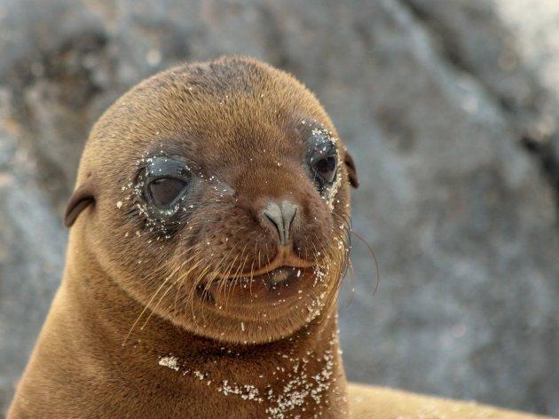 klein zeeleeuwtje op de Galapagos